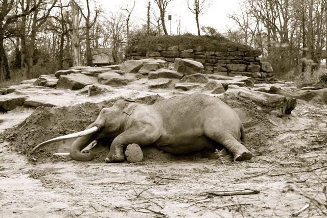 slapende olifant