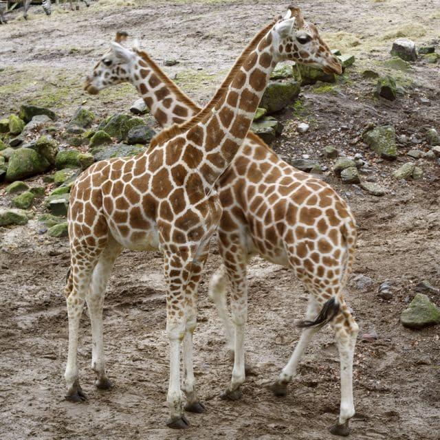 V van giraffe