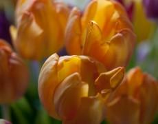 BETIFO – tulpenkleuren